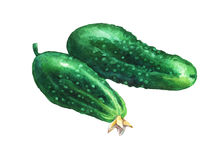 Сucumbers. Hand drawn watercolor painting Royalty Free Stock Image