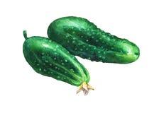 Ð ¡ ucumbers Ręka rysujący akwarela obraz Obraz Royalty Free