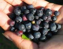 uczta blueberry Zdjęcia Stock