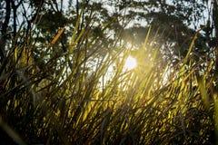 Uczucia ciepło od słońca jaśnienia przez tylnego zaświecającego trawa strzału tworzą niskiego kąt z drzewami w tle Zdjęcia Stock