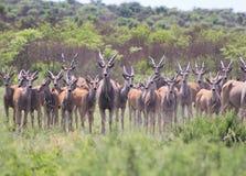 Udd Eland - afrikansk antilop Arkivbilder
