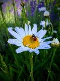 Udda se klipskt med en röd ände med svarta prickar som samlar nektar och pollen från vit- och gulingtusensköna i stuga, arbeta i  Fotografering för Bildbyråer