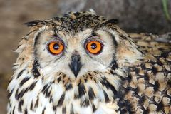 Udde Eagle Owl Bird Royaltyfria Foton