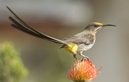 Udde Sugar Bird, med den lyftta svansen och den gula rumpan för visning Royaltyfria Foton