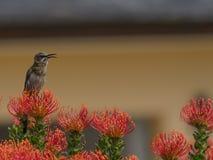 Udde Sugar Bird, Promerops cafer som sitter på orange stiftcushio f Arkivbild