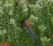|Udde Sugar Bird som matar på nektar Fotografering för Bildbyråer