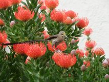 Udde Sunbird Royaltyfria Foton