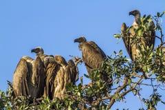 Uddegam i den Kruger nationalparken, Sydafrika royaltyfria bilder