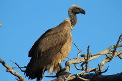 UddeGriffon Vulture In Tree Against blå himmel royaltyfri bild