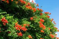 Uddekaprifol med orange blomningar Royaltyfria Foton