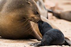 Uddepälsskyddsremsa och valp, koloni för uddekorsskyddsremsa, Namibia arkivbild