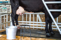 Udder αγελάδων Στοκ φωτογραφία με δικαίωμα ελεύθερης χρήσης