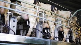 Udder αγελάδων άρμεγμα με το στήθος στο γαλακτοκομικό αγρόκτημα