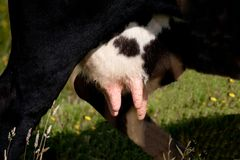 An udder Royalty Free Stock Images