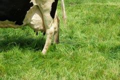 Udder da vaca imagens de stock