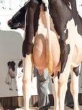 Udders αγελάδων υπαίθριος Στοκ εικόνες με δικαίωμα ελεύθερης χρήσης