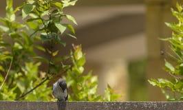 Uddesädesärlasammanträde på staketet som ner ser Fotografering för Bildbyråer