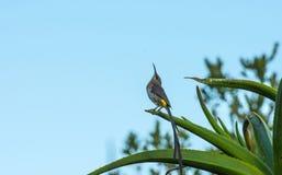 Uddesockerfågel, himmel för promeropskaféhuvud upp till Royaltyfri Foto