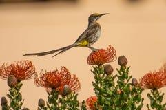Uddesockerfågel, man, med den långa svansen Arkivbilder