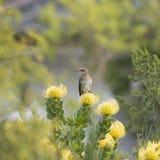 Uddesockerfågel, man, Promerops cafer, på nåldynan Fynbos, Elgin Ridge Winery, Sydafrika Royaltyfria Bilder