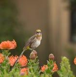Uddesockerfågel, man, Promerops cafer som sitter på apelsinen Arkivfoto