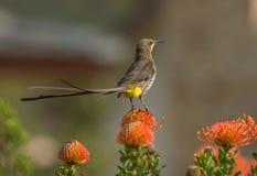 Uddesockerfågel, man, Promerops cafer som sitter på orange protea royaltyfria bilder