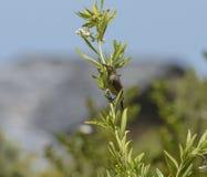 Uddesockerfågel, med den öppna näbb och sammanträdemilkweedväxten Arkivbilder