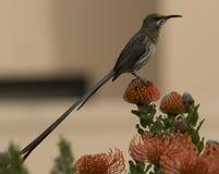 Uddesockerfågel, Promerops cafer, på orange fynbos Arkivbilder