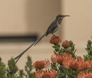 Uddesockerfågel som ser höger, med den långa svansen som sitter på apelsinen fl; owers Arkivbilder
