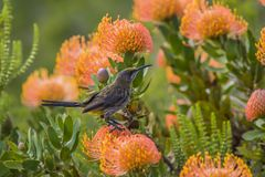 UddeSugarbird sammanträde på orange Fynbos som ser höger södra Af Royaltyfri Foto