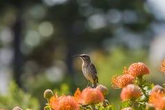 UddeSugarbird sammanträde på orange Fynbos som ser lämnade södra Afr Arkivfoto