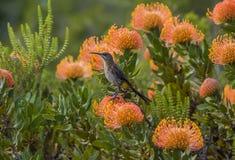 UddeSugarCape Sugarbird sammanträde på orange Fynbos som ser lämnad, Sydafrika Royaltyfri Bild