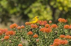 Uddevävare, Ploceuscapensis som sitter på orange protea Royaltyfri Fotografi