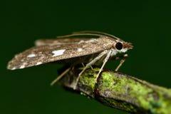Udea olivalis micro moth Stock Photo
