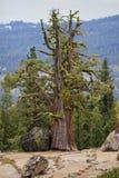 Uderzać gnarled jałowcowego drzewa zdjęcie royalty free
