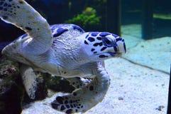 Uderzający żółw w akwarium obraz royalty free