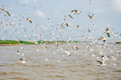 Uderzenie Poo, Tajlandia: Mrowie Seagull latanie. Fotografia Stock