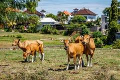 Udomowiający Banteng tembadau, bydło w Bali, Indonezja obraz stock