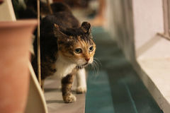 Udomowiający kot Obraz Stock