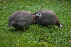 Udomowiający guineafowl Numida meleagris f domestica Zdjęcie Royalty Free