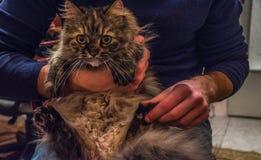 Udomowiający kot Fotografia Royalty Free