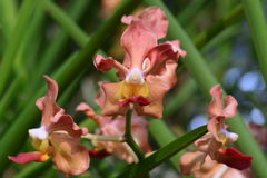 Udon Sunshine Orchid. ** note select focus with shallow depth of field Stock Photo