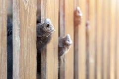 Udział śmieszna świnia ostrożnie wprowadzać zerkanie przez drewnianego ogrodzenia przy gospodarstwem rolnym Prosiaczki wtyka dysz zdjęcie royalty free