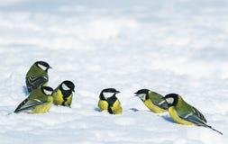 udział śmieszni mali ptasi Tits spotykający na białym śniegu w parku fotografia stock