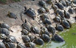 Udział żółwie obraz royalty free