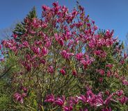 Udział ampuł menchie kwitnie Magnoliowego Susan liliiflora x magnolii Magnoliowego stellata na jasnym słonecznym dniu i pączkuje obrazy stock
