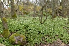 Udział kwitnący drewna nemorosa w starym lesie Zdjęcie Stock