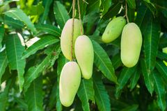 Udział 5 mango na drzewie zdjęcie royalty free