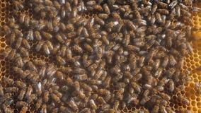 Udział pszczoły honeycomb beekeeping tła chodzenia pracy chodzenie w roju beekeeping pojęcia miodu styl życia zdjęcie wideo