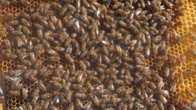 Udział pszczoły honeycomb beekeeping tła chodzenia pracy chodzenie w roju beekeeping stylu życia pojęcia miód zbiory wideo